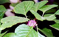 beautyberry - a favorite of many birds