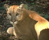 Florida panther, photo courtesy of SWFMD